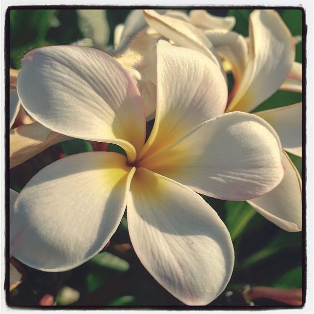 white plumeria flower absorbing the sun reality seo