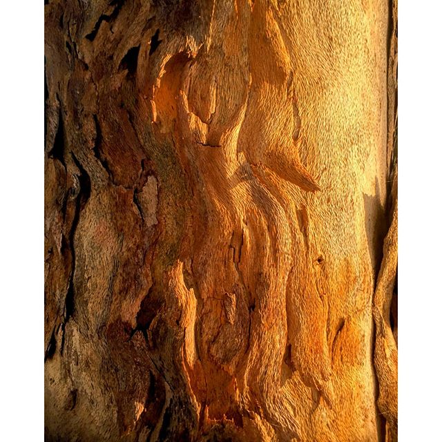 Peeling Eucalyptus Tree Bark