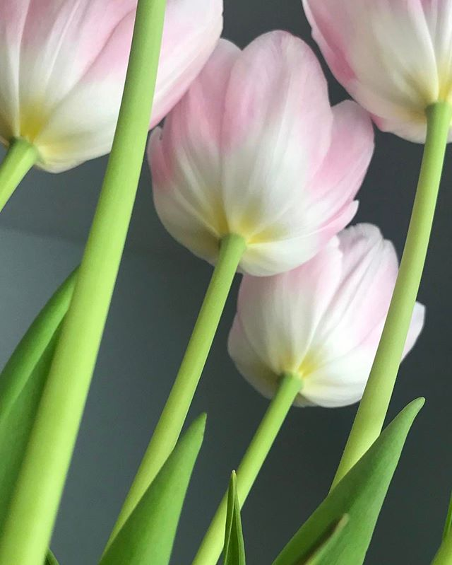 Upward Pink Tulips