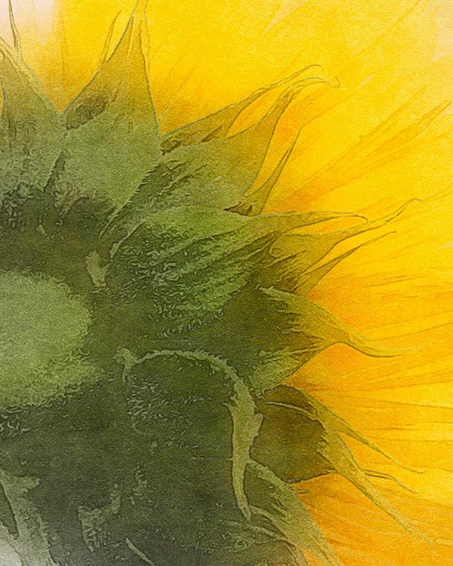 Sunflower Abstract (edit)