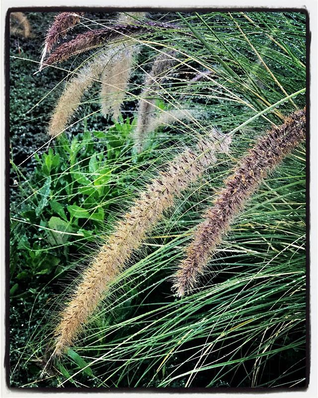 Wet Fountain Grass