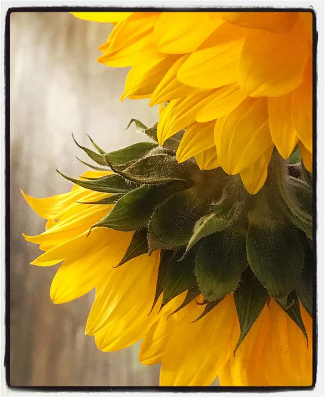 Contemplative Sunflowers