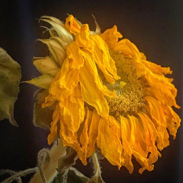 Retired Sunflower