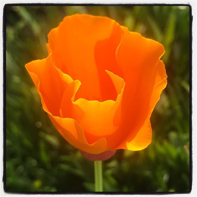 Orange Poppy Morning Opening